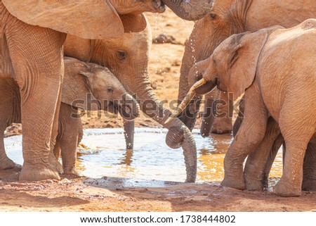 A close view of an elephant herd drinking at the Marion Baree Water Hole in Addo Elephant National Park, South Africa. Stock photo ©