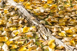 A closeout shot of autumn yellow leaves on the ground - perfect for background