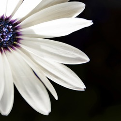 A closeup half shot of daisy leaves with a blue center and a black background