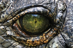 A closeup image of a Gharials Eye.