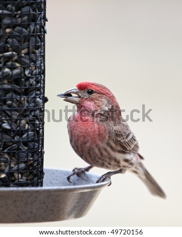 A closeup image of a male House Finch feeding on a Sunflower seed.
