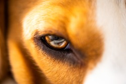 A closeup of a beagle's dog eye. Beautiful colorful macro shoot. Selective focus background