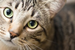 a closeup of a beautiful tabby cat with green eyes with a tilted head