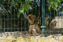A closeup of a brown domestic dog barking behind an iron fence