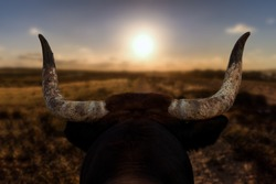A closeup of a bull's head with horns from behind. The Spanish bull looks at a path and the sunset in front of him. The background is out of focus with nice bokeh.