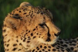 A closeup of a cheetah looking to the left