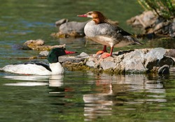 A closeup of a Common Merganser duck couple resting by some rocks in a green water pond.