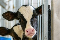 A closeup of a cow looking directly at the camera, with her head sticking out between metal bars. She is in a barn, or perhaps a slaughter house.