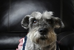 A closeup of a cute Miniature Schnauzer sitting on a leather sofa in a house