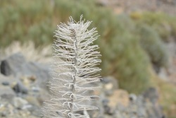 A closeup of a dried plant of an echium wildpretii, vipers bugloss, tajinaste rojo in Teide national park Tenerife, Canary Islands Spain
