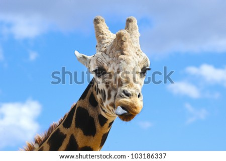 A closeup of a giraffe with his tongue sticking out
