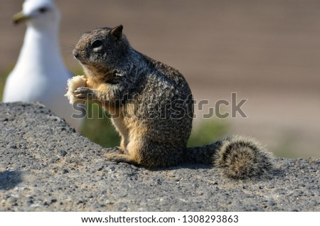 A closeup of a ground squirrel eating piece of bread with blurred white seagull waiting for breadcrumbs on the background. The photo made in California USA.