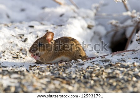 A closeup of a happy house mouse (Mus musculus) eating seeds under the bird-table in Uppland, Sweden