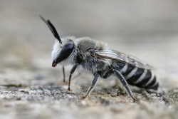 A closeup of a male solitary plasterer bee Colletes form Southern France
