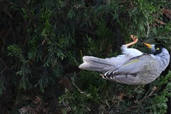 A closeup of a noisy miner hanging upside-down from a hedge, its talons gripping the hedge