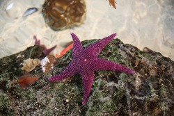 A closeup of a purple starfish and other sea shells on a rock
