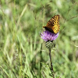 A closeup of a single invasive species plant Bull Thistle (Cirsium vulgare) in eastern Arizona surrounded by grass with an orange and black butterfly landed on it