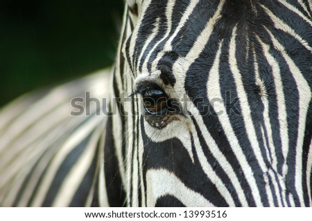 A closeup of a wet zebra eye in rain