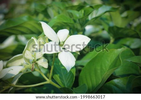 A closeup of a white Donna Aurora flower with green leaves Foto d'archivio ©