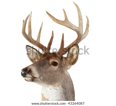 A closeup of a whitetail deer looking towards the left