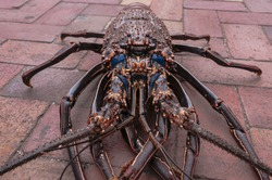A closeup of an alien looking lobster with some interesting details and colors. The photo is taken at a fish market on the galapagos island of Santa Cruz.