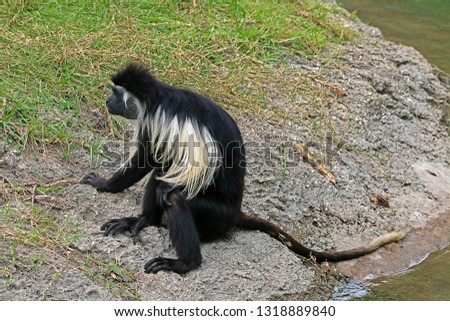 A Closeup of An Angola Colobus, Also Known As, Angolan Black and White Colobus, or Angolan Colobus (Colobus Angolensis)