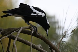 A closeup of an Australian magpie looking down while perched on a branch, the bird's talons tightly gripping the branch as it examines the area