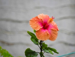 A Closeup of beautiful indian red and orange color hibiscus or dasavala flower with green leaves background