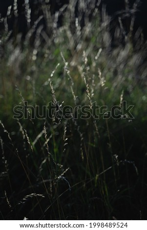 A closeup of California melic grass growing in the field Foto stock ©