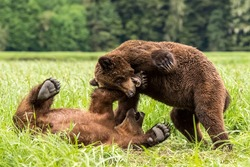A closeup of Grizzly bears playing together in the Khutzeymateen Grizzly Bear Sanctuary, Canada
