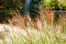 A closeup of miscanthus red chief outdoors during daylight