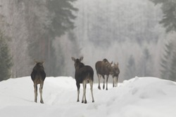 A closeup of moose in snowy weather on a foggy morning