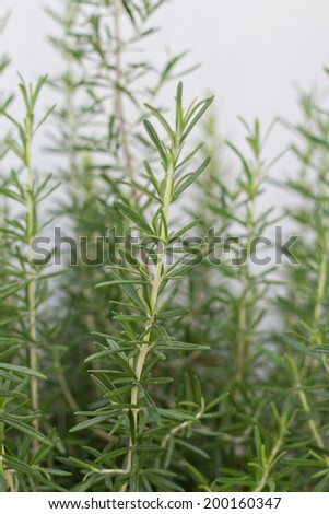 A closeup  of some sprigs of the herb rosemary growing in the garden