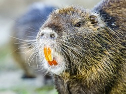 A closeup of the coypu, also known as the nutria, is a large, herbivorous, semiaquatic rodent