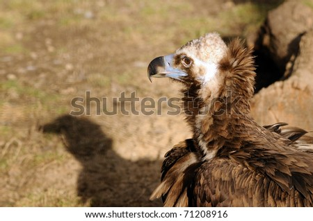 A closeup of the head of a vulture