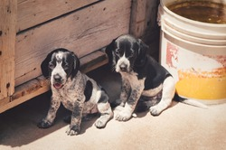 A closeup of two cute Auvergne pointer puppies