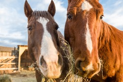 A closeup of two horses eating hay
