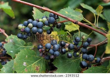 A closeup of wild grapes on a vine.