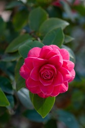 A closeup on camellia japonica Pearl maxwell