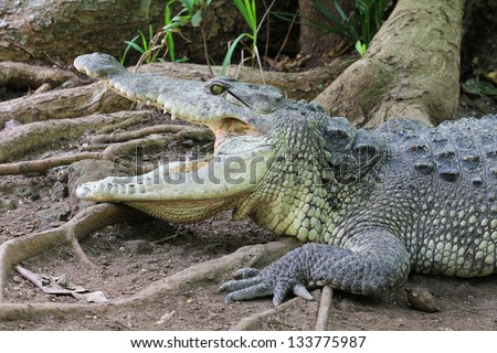 A closeup photo of a crocodile with open jaws - stock photo