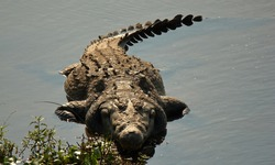 A closeup photo of a Nile Crocodile in the Kruger National Park