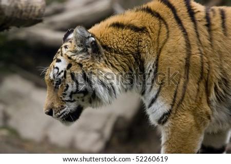 A closeup photo of a wild big tiger