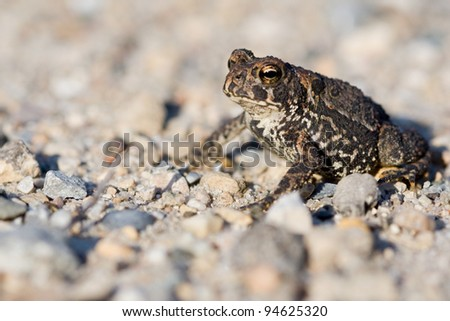 A closeup photo of an American Toad (Bufo americanus)