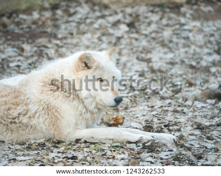 A closeup photograph of a white furred gray wolf or timber wolf laying on brown leaves in autumn or fall season in rural Wisconsin. #1243262533