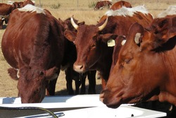 A closeup photograph of brown and white cattle standing around  two white bath tubs filled with water, while drinking from the bath