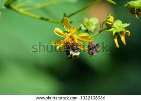 A closeup picture of a bumblebee gathers nectar from a yellow goats-beard wildflower in the Greenbrier area of the Smoky Mountains National Park, Tennessee.