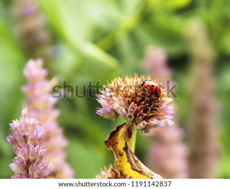 A closeup picture of a spotted ladybird (or ladybug) insect on a purple flower spike.