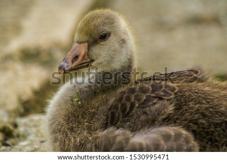 A closeup picture of a young duckling