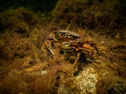 A closeup picture of two crabs getting ready for an underwater crab fight. Picture from Oresund, Malmo in southern Sweden.