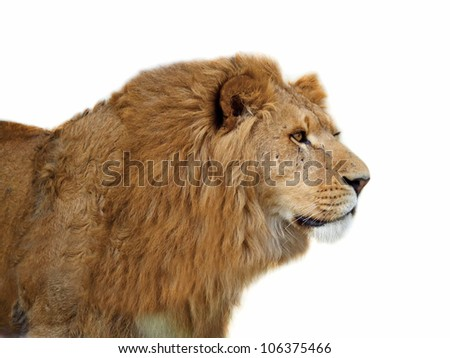 A closeup portrait of a beautiful African lion of a white background